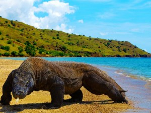 Dragon Comodo - (Gbr : http://www.new7wonders.com)
