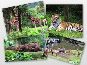 Jerapah, harimau, kuda nil dan bison, binatang-binatang yang jadi favorit saya di kunjungan kemarin. Eniwei, saya harus katakan pada Vay kalau itu adalah harimau batak (sumatera) biar dia berani lihat agak lama :p.