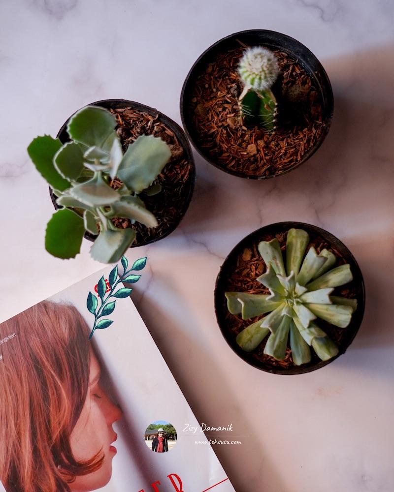 tanaman hias sukulen