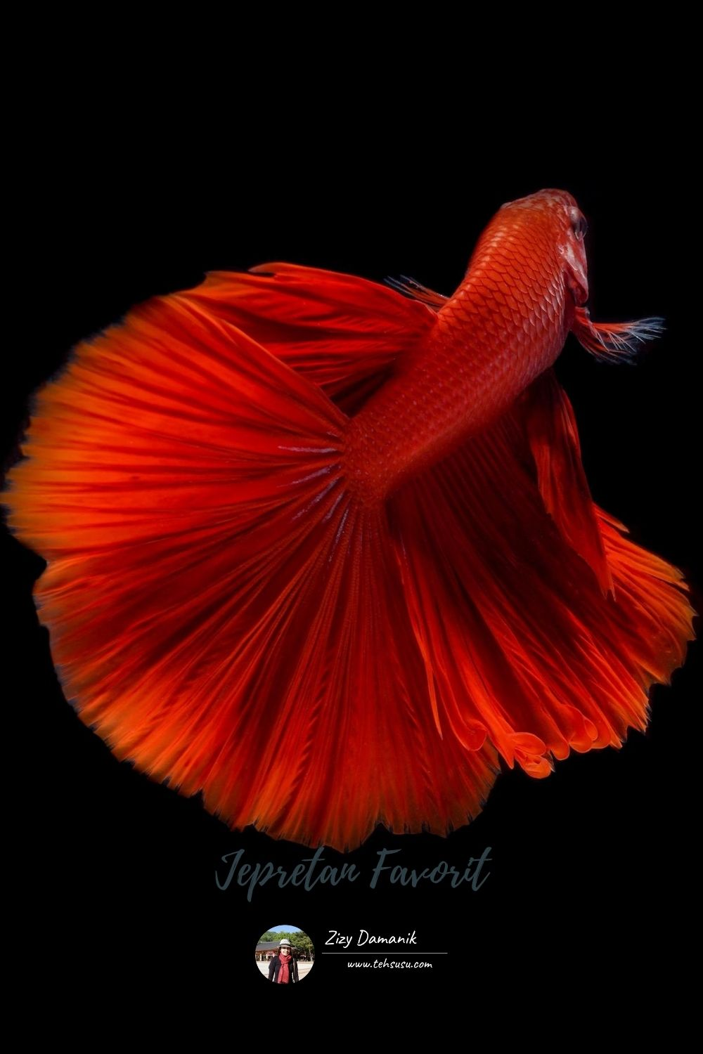 BETTA FISH PHOTOGRAPHY
