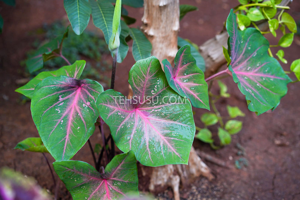 caladium heart of jesus
