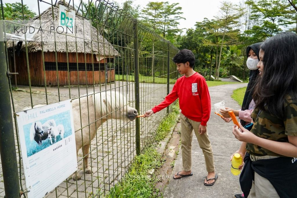 Memberi makan kuda poni di The Hill Sibolangit